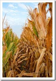 A cornfield from below