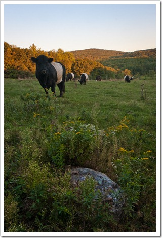Beware of . . . Belted Galloway