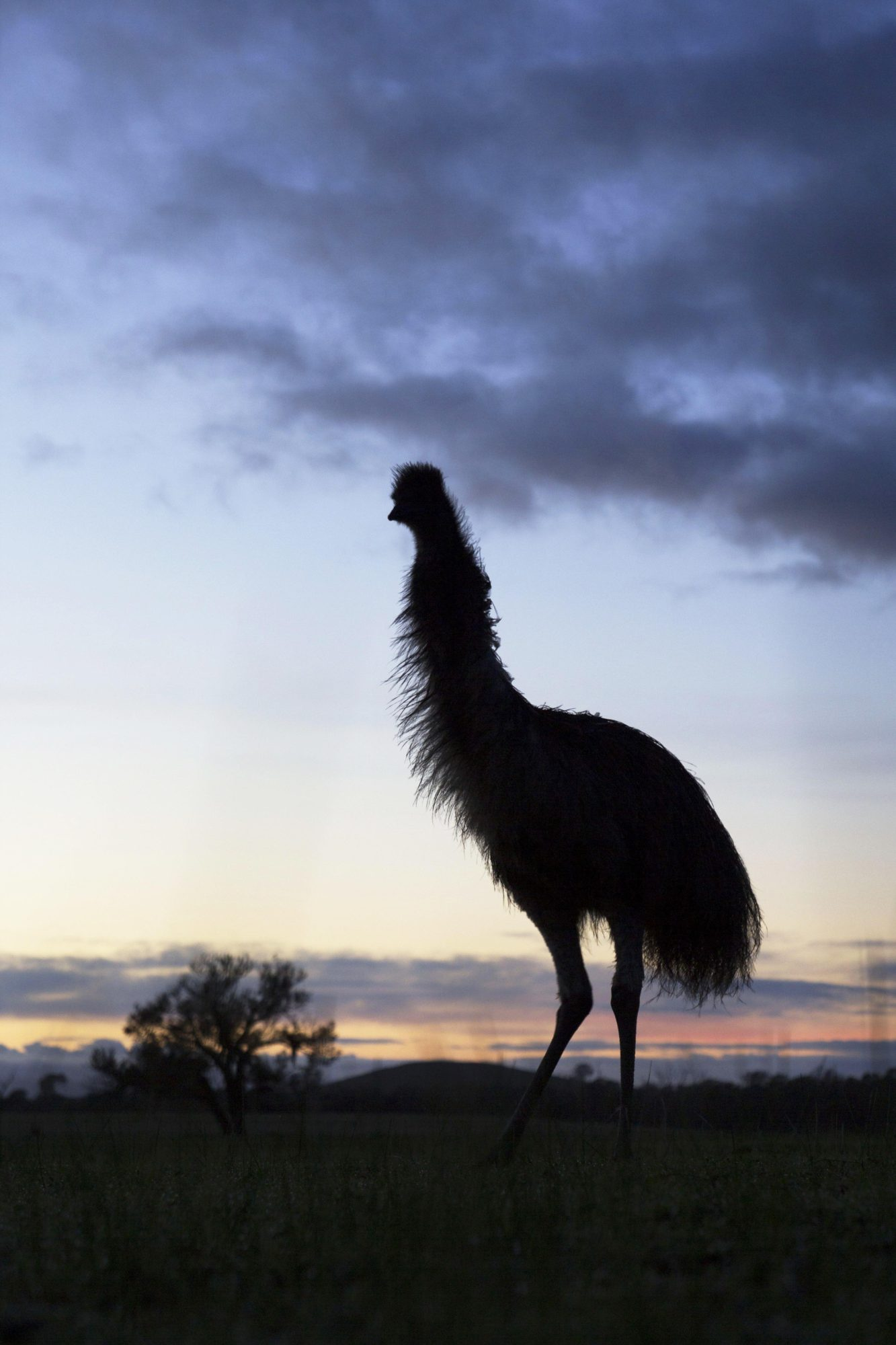 Photo Critique of Emu at Sunrise