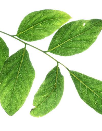 back-lit-coffee-bean-tree