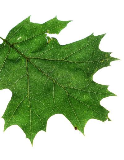 back-lit-oak