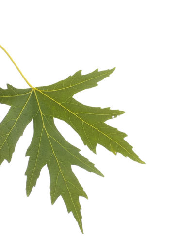 back-lit-maple-taken-with-point-and-shoot