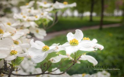 Quick Edit: Spring Dogwood