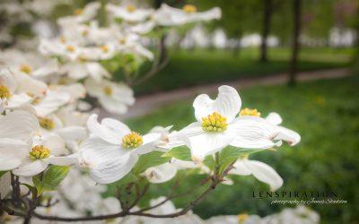 Quick Edit: Spring Dogwood