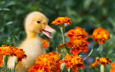 Reply To: Duckling