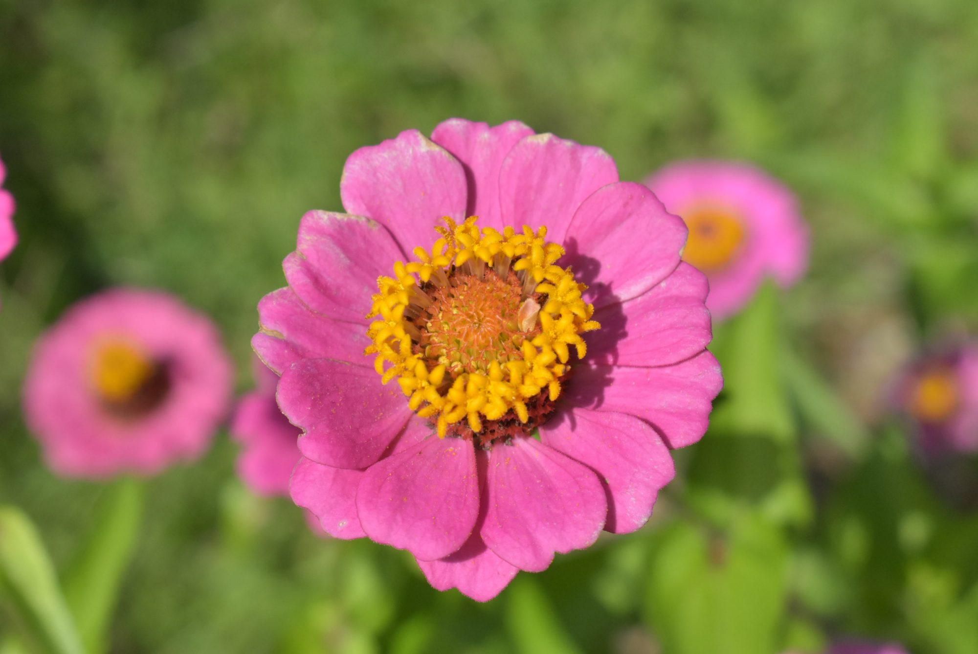 Pink Flowers Lenspiration